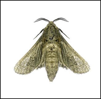 house moths